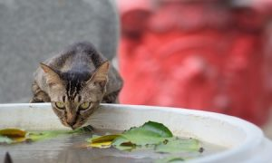 27032074 - cat drinking water from pot at temple